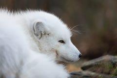 一只白狐的画象,狐狸雷鸟属,在基于地面的白色冬天外套的公狐狸 免版税库存照片
