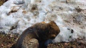 一只白种人牧羊犬的小的小狗在熔化的雪使用 股票视频