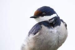 一只白红喉刺莺的燕子的特写镜头坐木栖息处燕属 库存图片