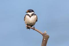 一只白红喉刺莺的燕子的特写镜头坐木栖息处 库存照片