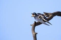 一只白红喉刺莺的燕子的特写镜头从木栖息处坐  库存照片