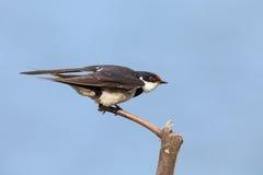 一只白红喉刺莺的燕子的特写镜头从木栖息处离开 免版税库存照片