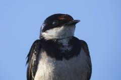 一只白红喉刺莺的燕子的特写镜头画象在蓝天的 图库摄影