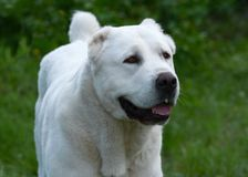 一只白色中亚牧羊犬的画象 库存图片