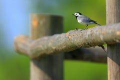 一只白色令科之鸟鸟的特写镜头在春天嵌套期间 图库摄影