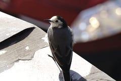 一只白色令科之鸟Motacilla晨曲鸟的特写镜头画象与白色,灰色和黑羽毛的 白色令科之鸟是全国bir 库存图片