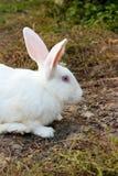 一只白色兔子的画象 免版税库存照片
