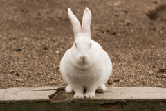 一只白色兔子 免版税图库摄影