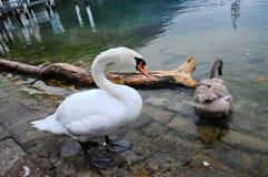 一只白色天鹅和一只灰色天鹅 免版税图库摄影