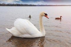 一只白色天鹅和鸭子在一个晴朗的下午的湖游泳 免版税库存照片