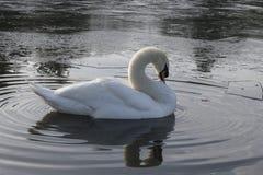 一只白色天鹅在一个冰冷的池塘 库存照片