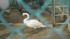 一只白色天鹅在仓前空地围场走 股票录像