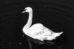 一只白色天鹅在水中漂浮 库存图片