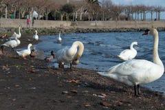 一只白色天鹅的一个美丽的特写镜头 库存图片