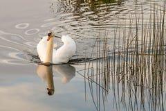 一只白色天鹅的反射 库存图片