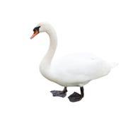 一只白色天鹅,被隔绝 免版税库存图片