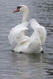 一只白色天鹅 免版税库存照片