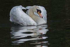 一只白色天鹅 免版税库存图片