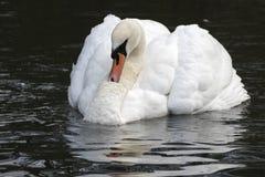 一只白色天鹅 库存图片
