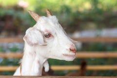 一只白色孩子山羊的画象在山羊农场 库存照片