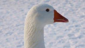 一只白色家养的鹅的画象 股票视频