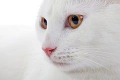 一只白色家猫的枪口与黄色眼睛的 库存照片