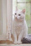 一只白色家猫的画象 免版税库存照片