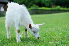 一只白色小山羊 图库摄影