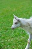 一只白色小山羊 免版税库存照片