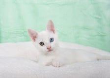 一只白色小猫的画象与虹膜异色症的注视 免版税库存照片