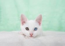 一只白色小猫的画象与虹膜异色症的注视 库存图片