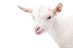 一只白色小的山羊的画象 免版税库存图片