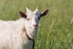 一只白色山羊吃着在草甸的草 免版税库存照片