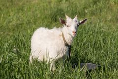 一只白色山羊吃着在草甸的草 免版税图库摄影