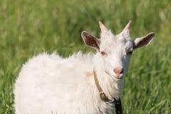 一只白色山羊吃着在草甸的草 库存照片