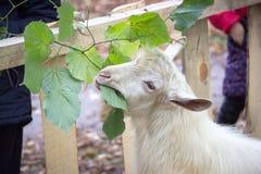一只白色山羊吃绿色叶子 免版税图库摄影