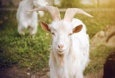 一只白色山羊在牧群的其余中站立在一好日子 库存图片