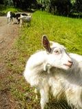 一只白色山羊在草甸,一个土气动物吃草 图库摄影