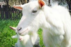 一只白色山羊特写镜头  库存图片