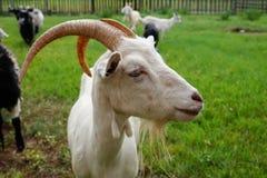 一只白色山羊的头在绿色背景的 免版税库存图片