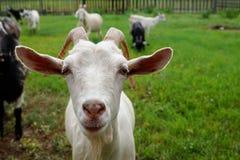 一只白色山羊的枪口在绿色背景的 库存照片