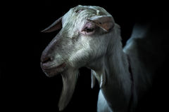 一只白色山羊的照片 免版税库存照片