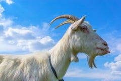 一只白色山羊的画象反对明亮的蓝天的 免版税库存图片