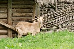 一只白色山羊的画象在村庄 库存图片
