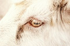一只白色山羊的眼睛 库存照片