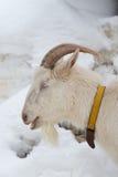一只白色山羊的顶头射击 库存图片