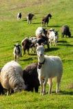 一只白色山羊的画象与响铃的在沼地 库存照片