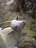 一只白色山羊的画象 免版税库存图片