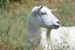 一只白色山羊的画象 免版税库存照片