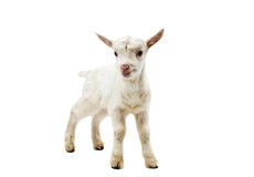 一只白色山羊的画象 图库摄影